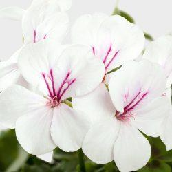 Geranium Trailing Single Flower White
