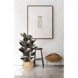 Ficus Elastica Robusta ( Single Stem Rubber Plant )