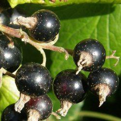 Ribes nigrum Ben Nevis