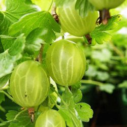 Ribes uva-crispa HinnonmŠki Gršn