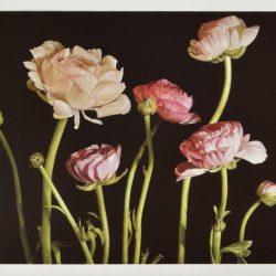 Ranunculus Pink – Geeting card