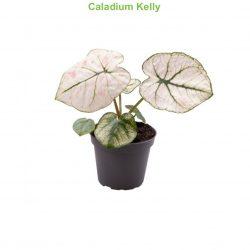 Caladium Kelly