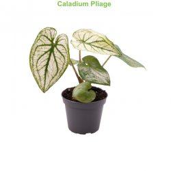Caladium Pliage