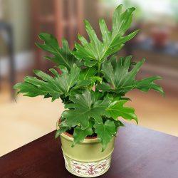 Philodendron selloum 'Little Hope'