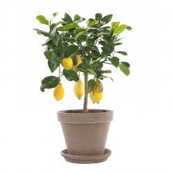Citrus Vulcan Lemon