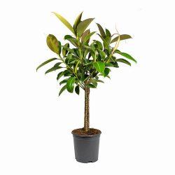Ficus el. Melany